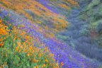 Valley of flowers California super bloom