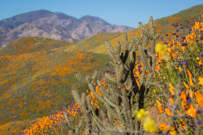 California super bloom cactus in canyon covered in flowers