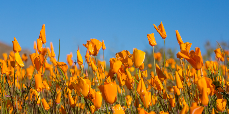 California poppies against blue sky California super bloom