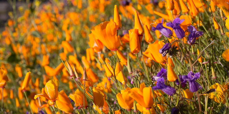 California super bloom canyon covered in flowers