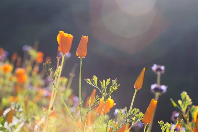 California super bloom poppies